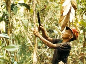 La récolte du rotin dans la jungle indonésienne